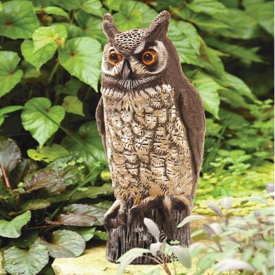 Great Horned Owl with Stationary Head